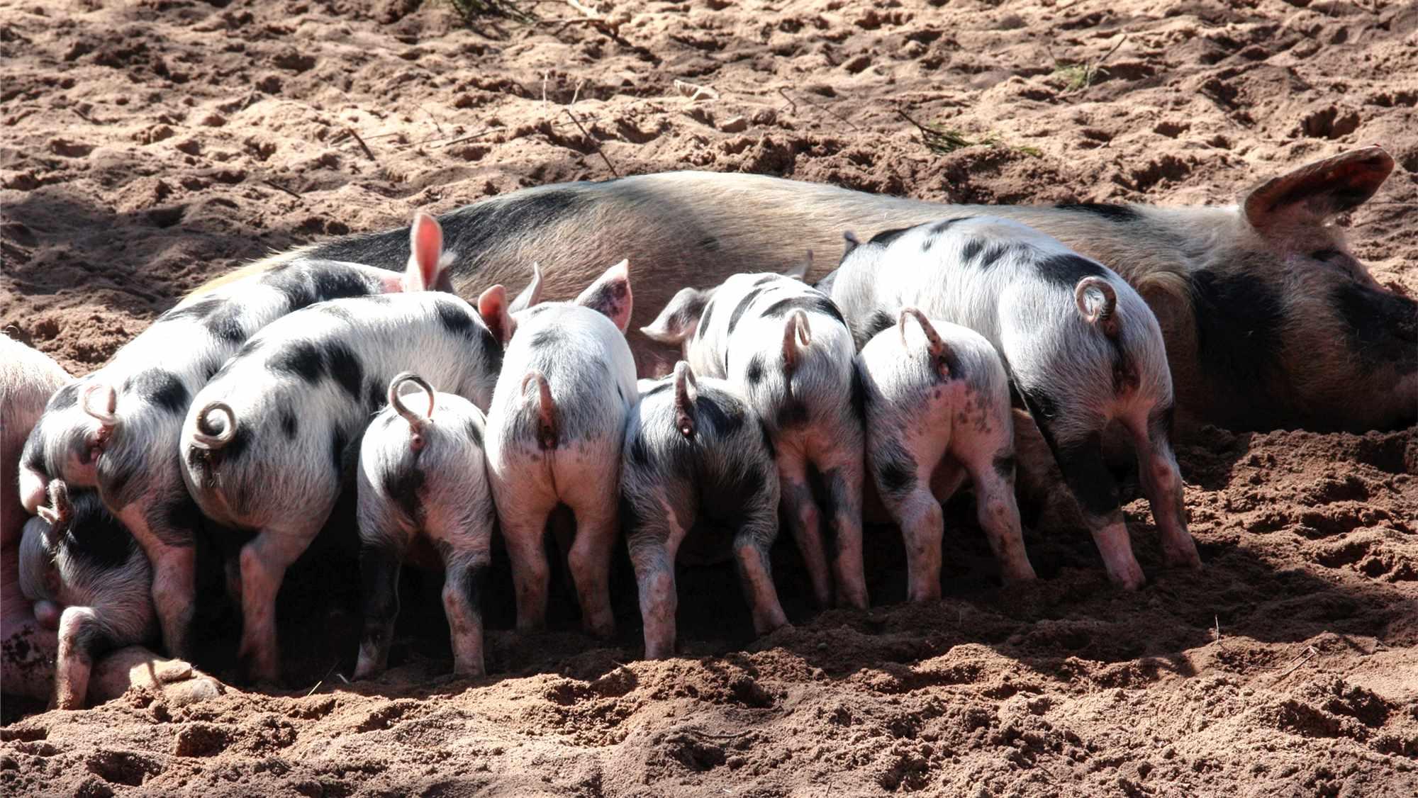 """13家猪企被""""吃""""上市后,中国猪肉开始""""高精尖""""了"""
